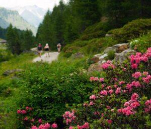 Den Almrosen wird beim Almrosenfest in St. Jakob ausgiebig gehuldigt. Zu Recht! (Bild: TVB Osttirol)