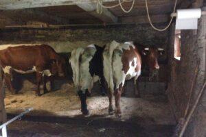 Die Kühe sind schon ungeduldig!