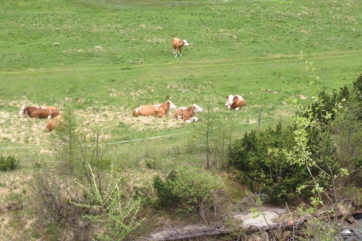 Kühe im Dorfertal