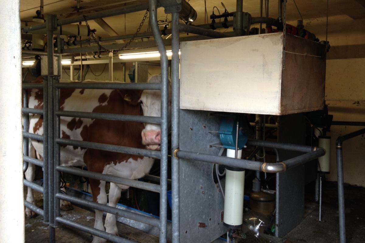 Die Kühe werden im Melkstand gemolken.