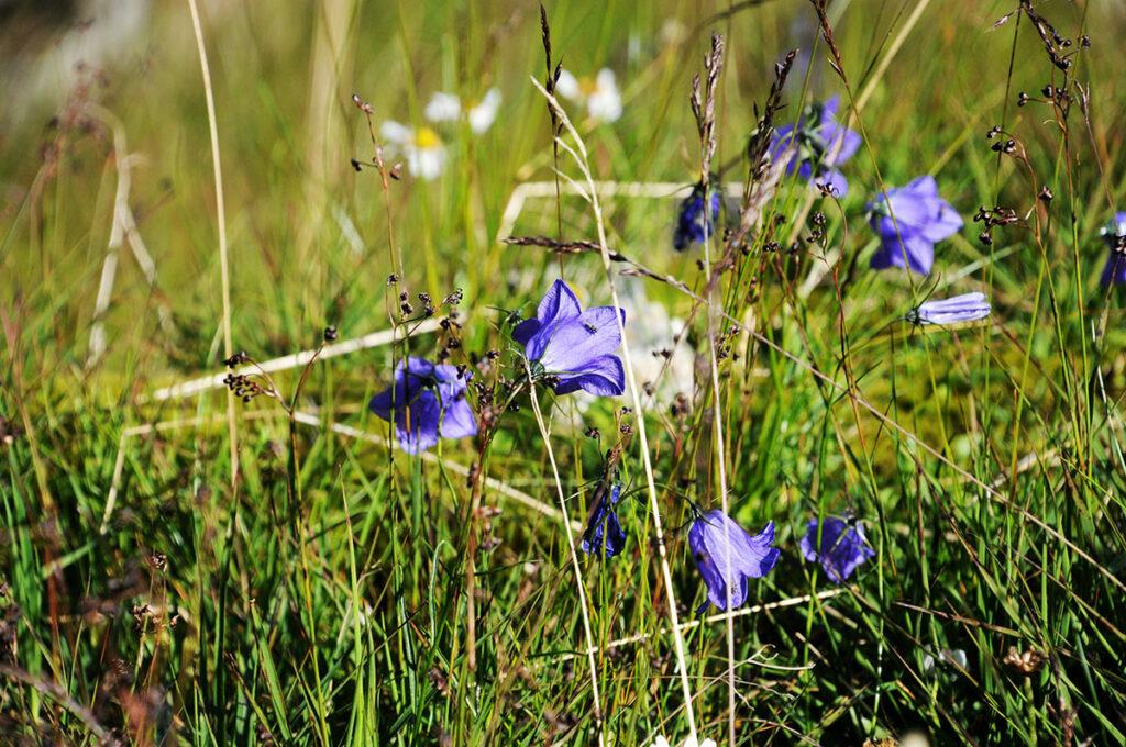 die verschiedenen Alpenblumen sind besonders schön