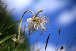 Die Bergblumen blühten um die Wette