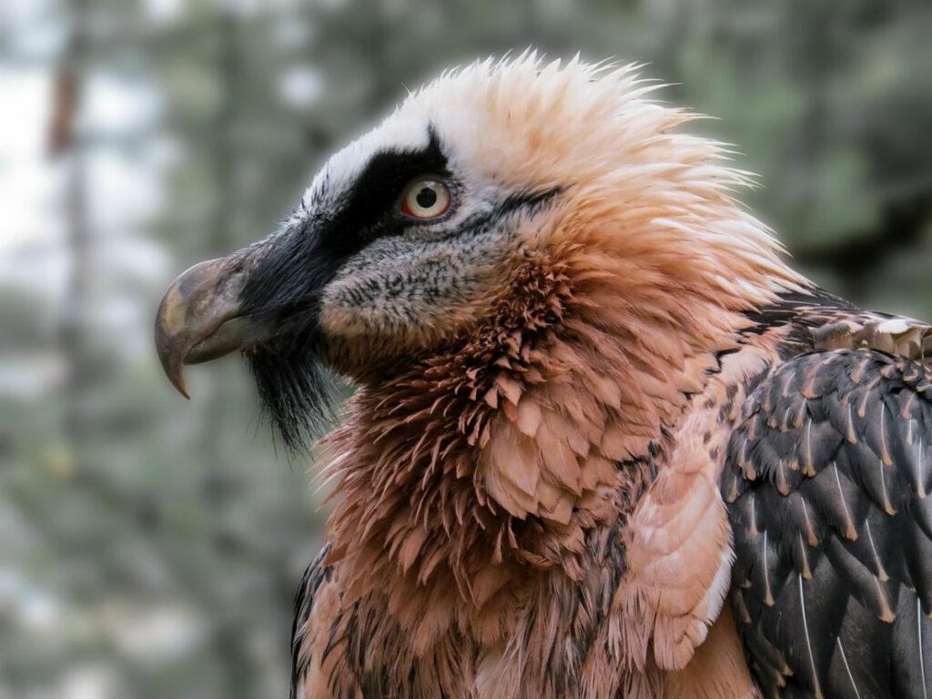 Eine besondere Vogelart: der Bartgeier