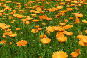 Gold der Dolomiten - Ringelblume