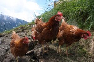 Urlaub am Bauernhof - Hennen