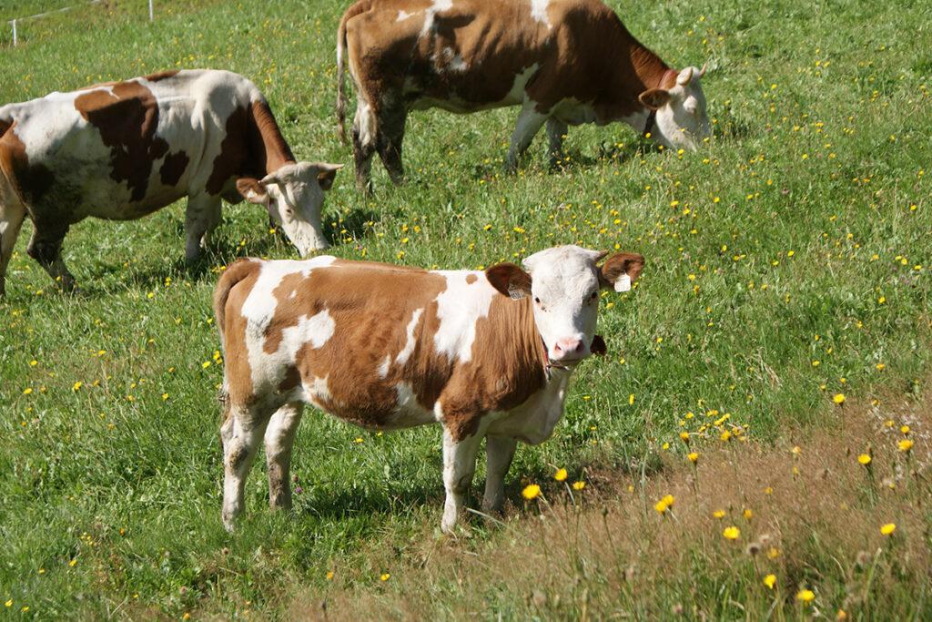 Urlaub am Bauernhof - Kühe