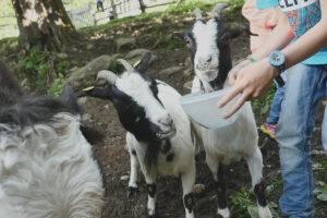 Urlaub am Bauernhof - Ziege