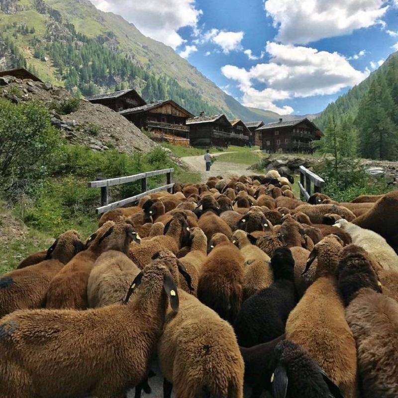 Die Schafe liefern den wichtigsten Rohstoff für die Villgrater Natur Produkte.