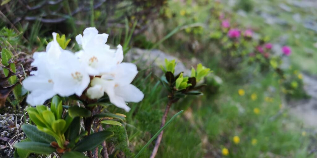 Weiße Alpenrose