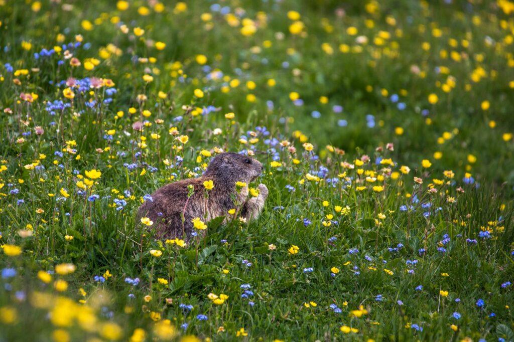 Murmeltier in Blumenwiese