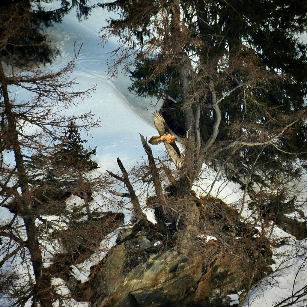 steinadler-im-winter-flugbild